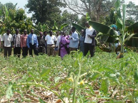 Garden of Tomatoes in a banana plantation