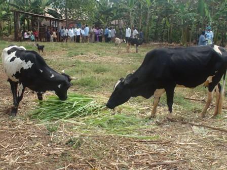 cattle rearing at tuweereza eden ministries
